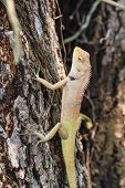 picture of lizards  - Blue lizard - JPG