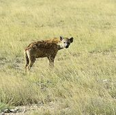 pic of hyenas  - African hyenas in Amboseli National Park  - JPG