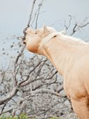 Beautiful Palomino Stallion Of Quarterhorse Breed