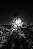 pic of sagebrush  - Ancient desert tree silhouetted at dawn near Moab - JPG