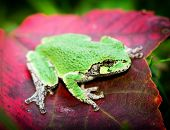 foto of red eye tree frog  - Side view of a Gray Tree frog showing a bright green coloration sitting on a red maple leaf - JPG