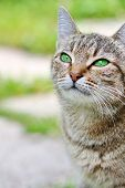 Постер, плакат: Striped cat with green eyes