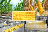 foto of corn  - Agriculture collage  - JPG