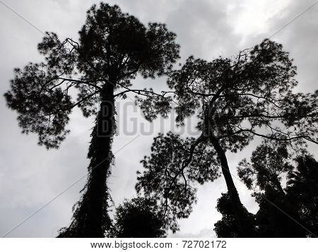 Silhouette Of Overgrown Pine Trees On A Monsoon Day In Kathmandu