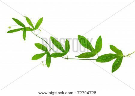 Closeup Of Green Passionflower Branch With Tendrils Is Isolated On White Background