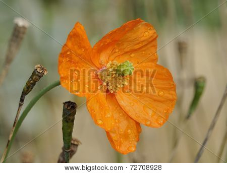 Atlantic Poppy