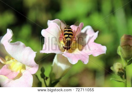 Bee Pollination Snapdragon