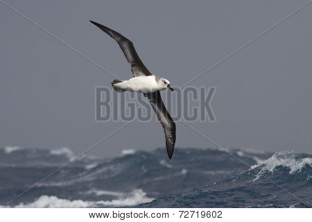 Gray-headed Albatross Flying Over The Waves Of The Atlantic Storm