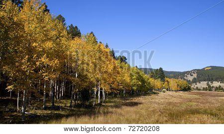 Colorado Aspen Stand And Field