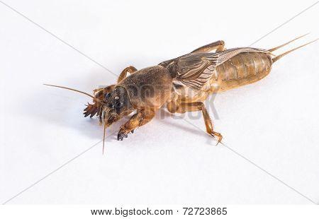 Close Up Of Mole Cricket