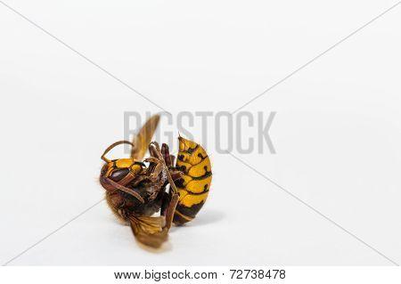 Dead European Hornet