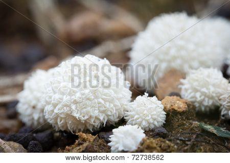 Tiny Spiked Puffballs, Macro