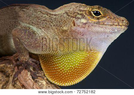 Crested anolis / Anolis cristatellus