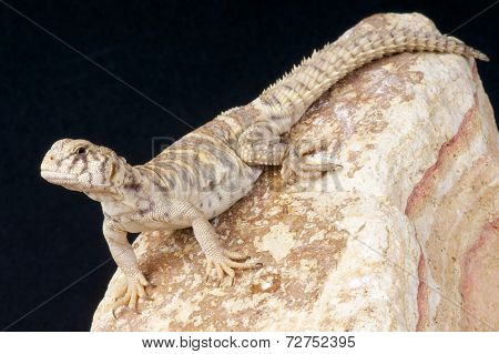 Ornate mastigure / Uromastyx ornata