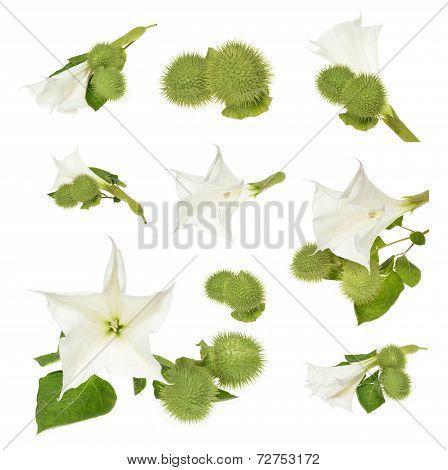 (Datura stramonium)