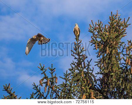 Common Kestrel Couple