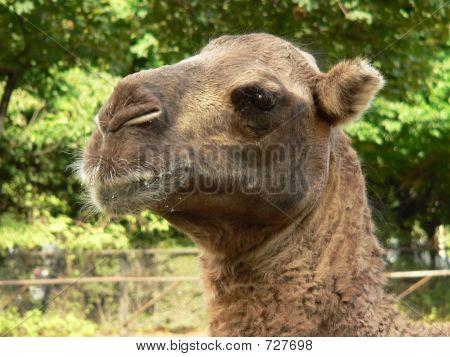Camel Head - Close Up