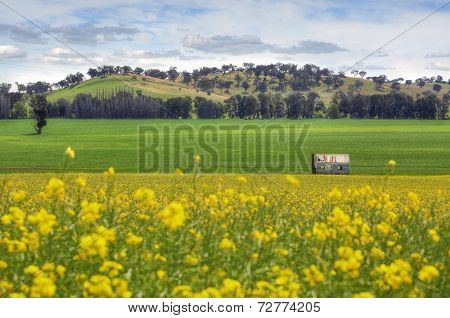 Abandoned Farm House In Fields Of Canola