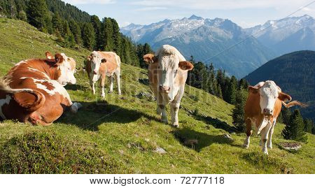 Group Of Cows (bos Primigenius Taurus) In Alps On Pasture
