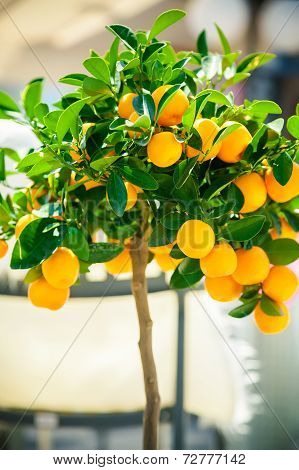 Small Ornamental Tangerine Tree