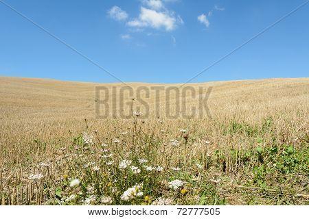 Tuscany Cornfield