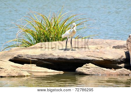 Spoonbill with river backdrop