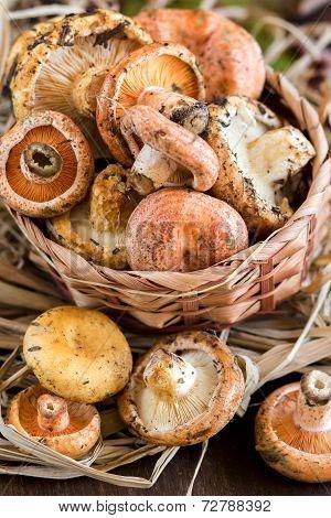 Saffron Milk Cap And Red Pine Mushrooms