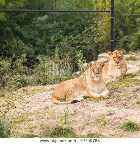 Lions In Zoo