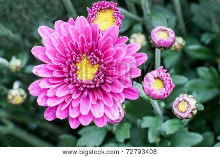 Chrysanthemums awaken