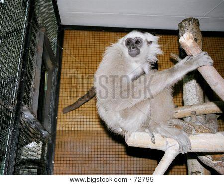 Gibbon gris