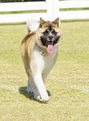 picture of pinto  - A portrait view of a sable white and brown pinto American Akita dog walking on the grass distinctive for its plush tail that curls over his back and for the black mask - JPG