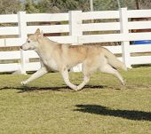 picture of wolf-dog  - A profile view of a young beautiful copper red fawn and white Siberian Husky dog running known for their amazing endurance and willingness to work - JPG