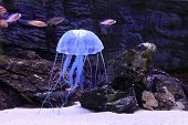 foto of plankton  - Jellyfish - JPG