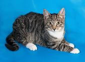 pic of blue tabby  - Tabby kitten with white spots lies on blue background - JPG