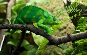 picture of giant lizard  - Giant Chameleon Chamaeleo melleri with strong green colour over branch - JPG