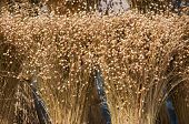 picture of flax plant  - the ripened sheaves of flax close up - JPG