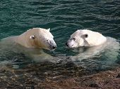 stock photo of polar bears  - Male and female polar bear holding hands underwater - JPG