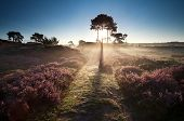pic of ling  - illuminated countryside path at sunrise and heather - JPG