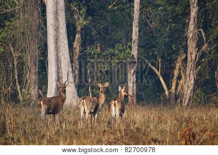 Group Of Swamp Deer In Nepal