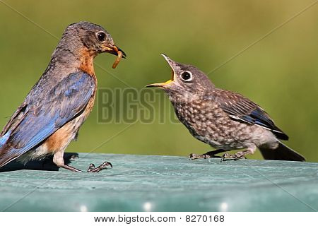 Female Eastern Bluebird Feeding A Baby