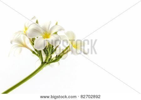 Plumeria Or Frangipani Blossom.