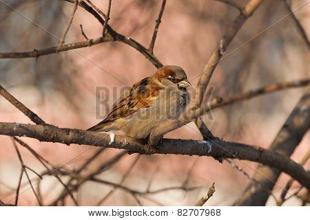 Portrait Of A Sparrow