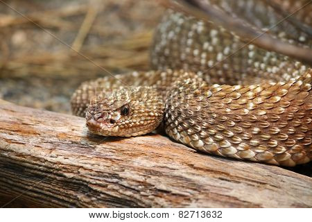 Uracoan Rattlesnake Crotalus durissus vegrandis rattle snake