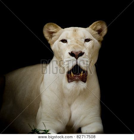 Closeup Of White Lion