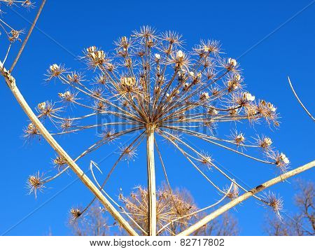 Cow parsnip against the blue sky