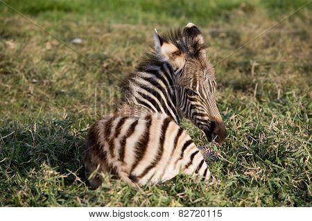Young Mountain Zebra Lying