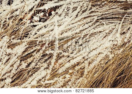 Withered Grass Covered With Snow