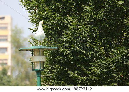 European Herring Gull On Lamp