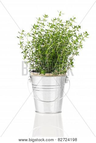 Thyme Herb Plant Growing In A Distressed Pewter Pot, Isolated Over White Background.