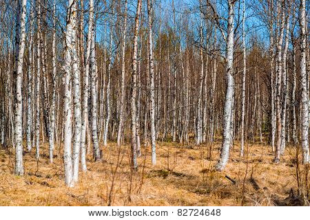 many birch trees without leaves in spring